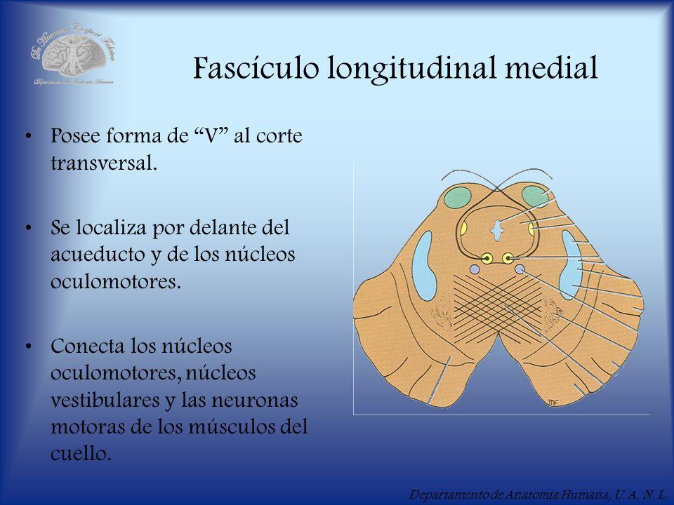 Departamento de Anatomía Humana, U. A. N. L. Fascículo longitudinal medial Posee forma de V al corte transversal. Se localiza por delante del acueduct