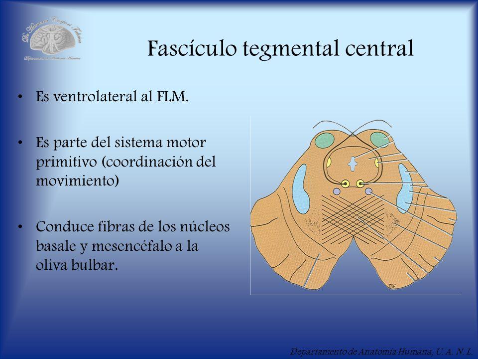 Departamento de Anatomía Humana, U. A. N. L. Fascículo tegmental central Es ventrolateral al FLM. Es parte del sistema motor primitivo (coordinación d