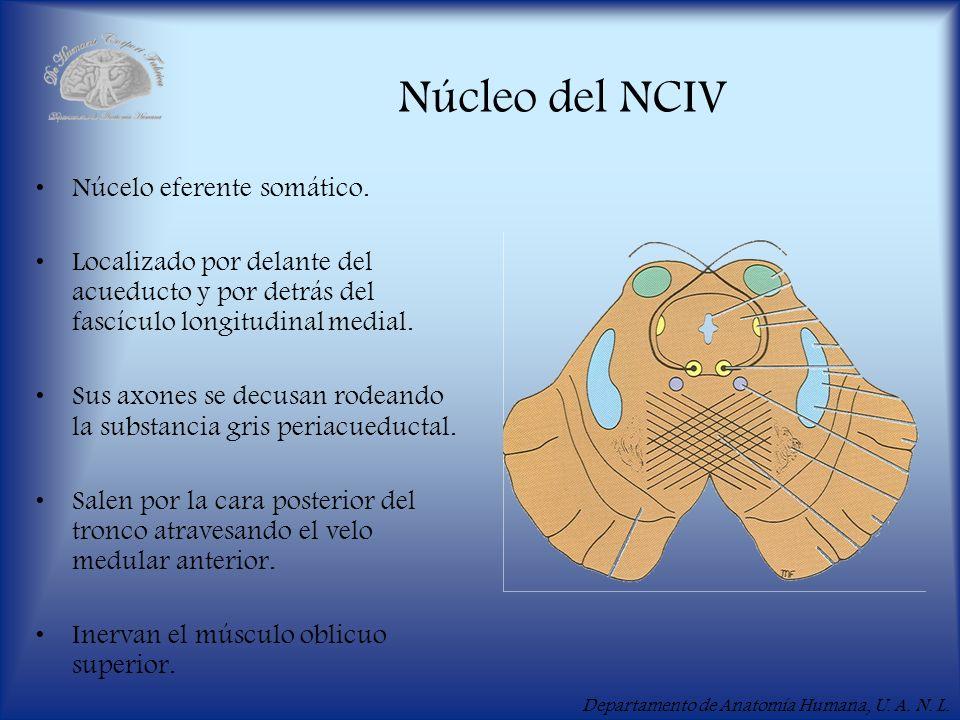 Departamento de Anatomía Humana, U. A. N. L. Núcleo del NCIV Núcelo eferente somático. Localizado por delante del acueducto y por detrás del fascículo