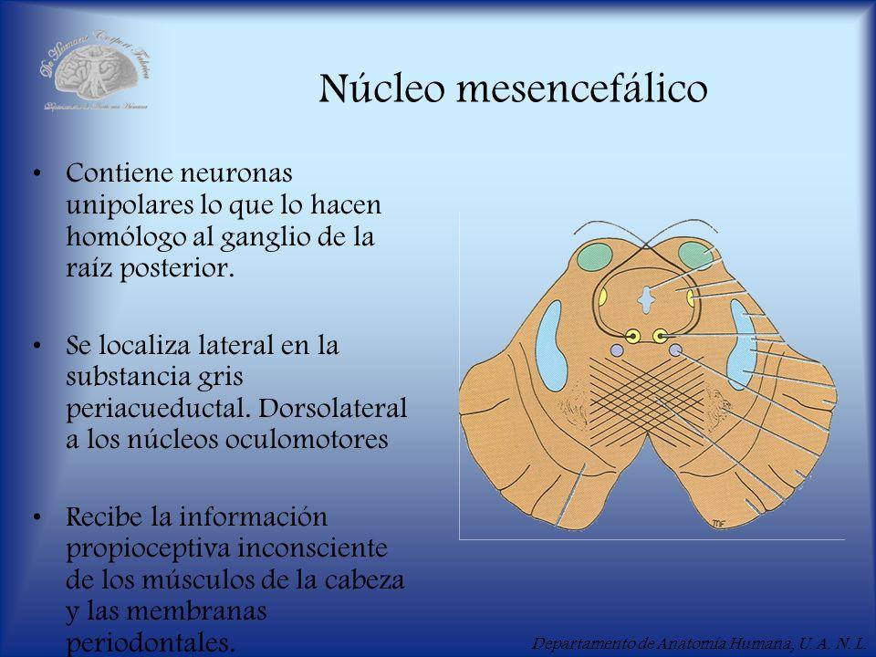 Departamento de Anatomía Humana, U. A. N. L. Núcleo mesencefálico Contiene neuronas unipolares lo que lo hacen homólogo al ganglio de la raíz posterio