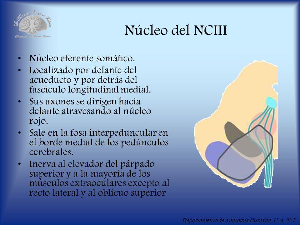 Departamento de Anatomía Humana, U. A. N. L. Núcleo del NCIII Núcleo eferente somático. Localizado por delante del acueducto y por detrás del fascícul