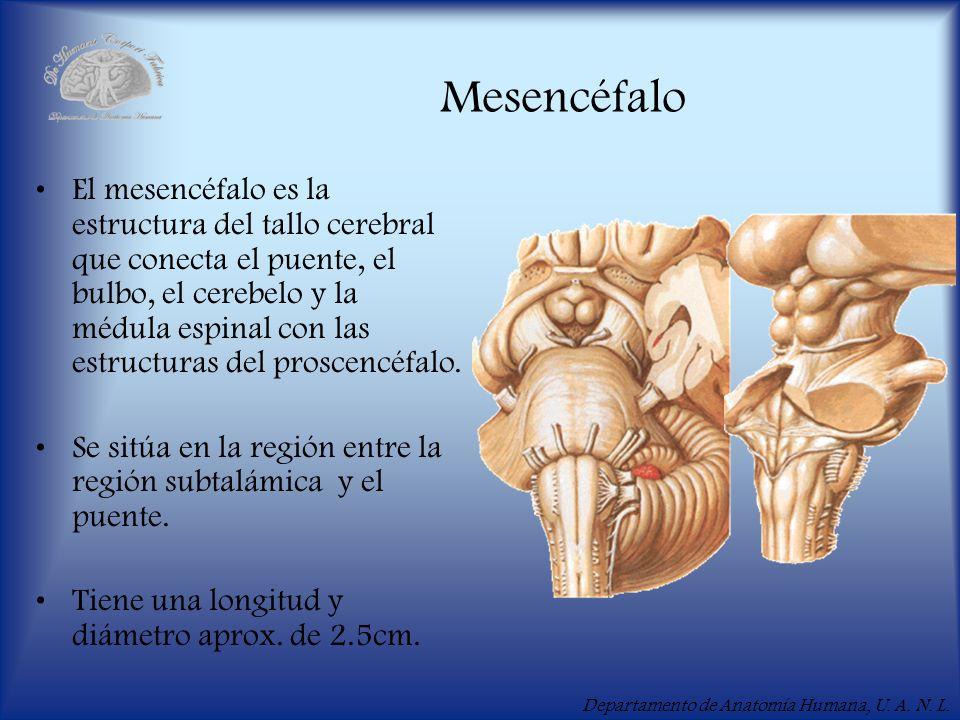 Departamento de Anatomía Humana, U. A. N. L. Mesencéfalo El mesencéfalo es la estructura del tallo cerebral que conecta el puente, el bulbo, el cerebe