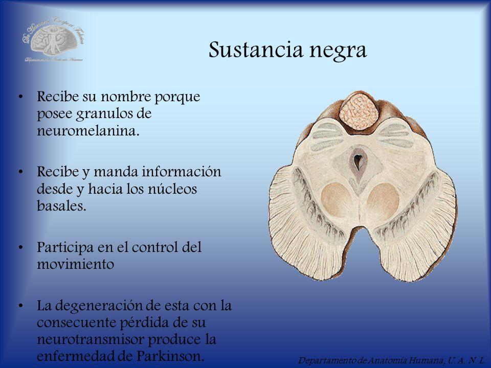 Departamento de Anatomía Humana, U. A. N. L. Sustancia negra Recibe su nombre porque posee granulos de neuromelanina. Recibe y manda información desde