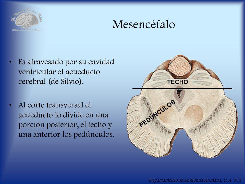 Departamento de Anatomía Humana, U. A. N. L. Mesencéfalo Es atravesado por su cavidad ventricular el acueducto cerebral (de Silvio). Al corte transver