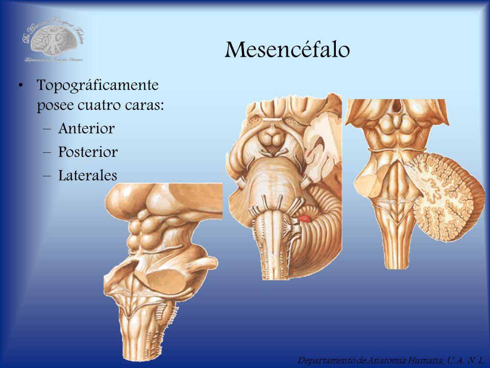 Departamento de Anatomía Humana, U. A. N. L. Mesencéfalo Topográficamente posee cuatro caras: –Anterior –Posterior –Laterales