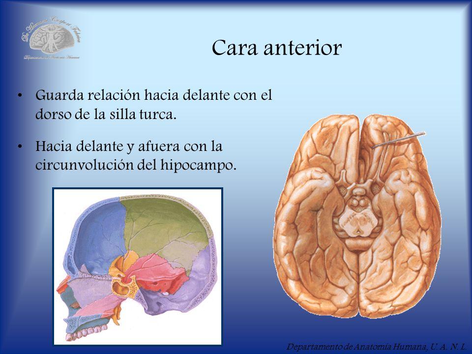 Departamento de Anatomía Humana, U. A. N. L. Cara anterior Guarda relación hacia delante con el dorso de la silla turca. Hacia delante y afuera con la