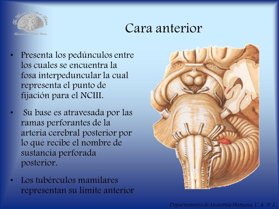 Departamento de Anatomía Humana, U. A. N. L. Cara anterior Presenta los pedúnculos entre los cuales se encuentra la fosa interpeduncular la cual repre