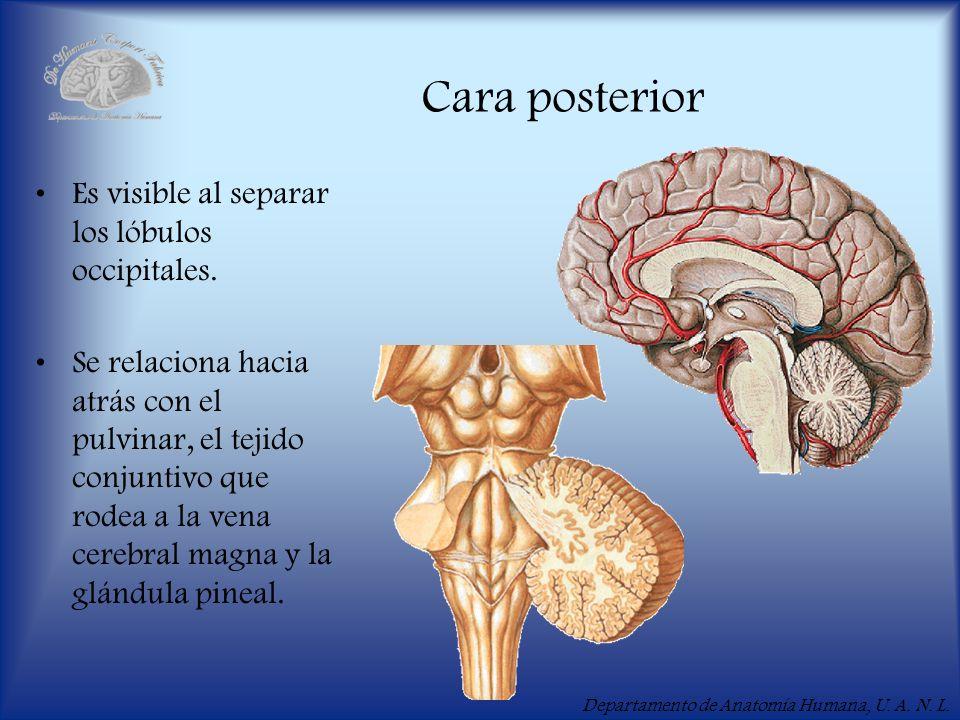 Departamento de Anatomía Humana, U. A. N. L. Cara posterior Es visible al separar los lóbulos occipitales. Se relaciona hacia atrás con el pulvinar, e