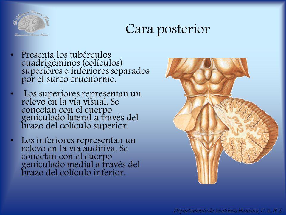 Departamento de Anatomía Humana, U. A. N. L. Cara posterior Presenta los tubérculos cuadrigéminos (colículos) superiores e inferiores separados por el