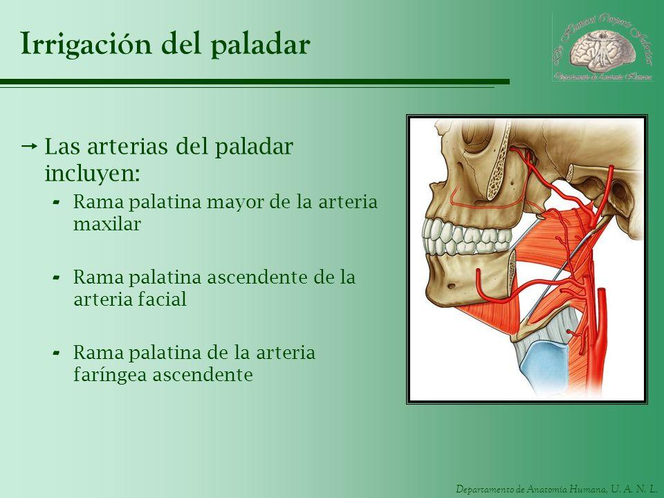 Departamento de Anatomía Humana, U. A. N. L. Irrigación del paladar Las arterias del paladar incluyen: - Rama palatina mayor de la arteria maxilar - R