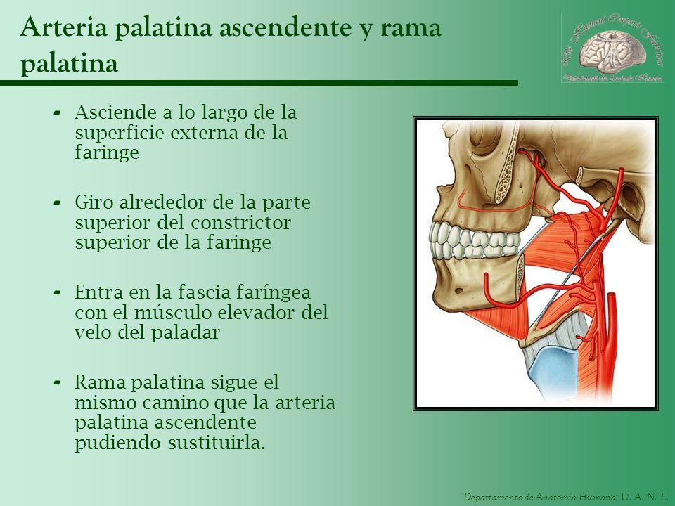 Departamento de Anatomía Humana, U. A. N. L. Arteria palatina ascendente y rama palatina - Asciende a lo largo de la superficie externa de la faringe