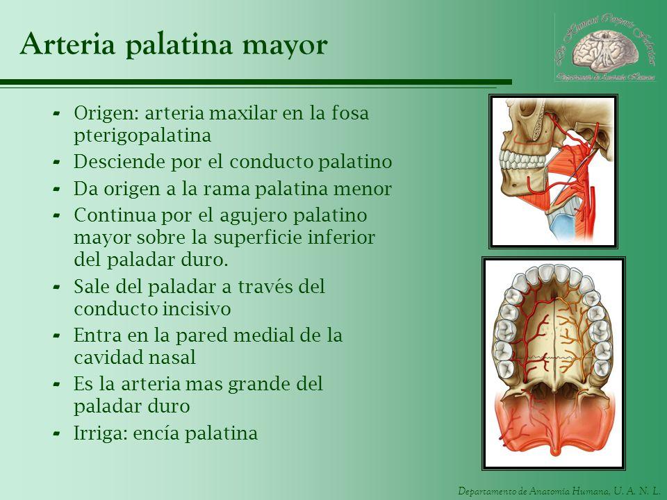 Departamento de Anatomía Humana, U. A. N. L. Arteria palatina mayor - Origen: arteria maxilar en la fosa pterigopalatina - Desciende por el conducto p