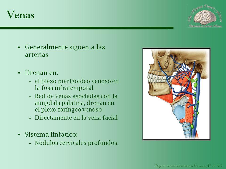 Departamento de Anatomía Humana, U. A. N. L. Venas - Generalmente siguen a las arterias - Drenan en: -el plexo pterigoideo venoso en la fosa infratemp
