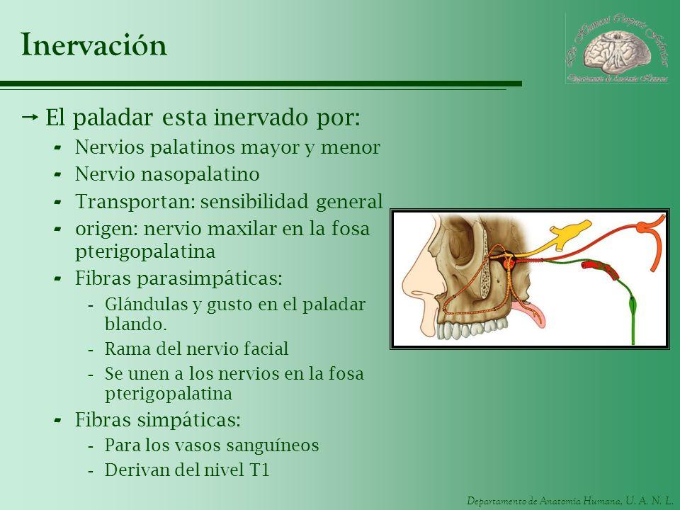 Departamento de Anatomía Humana, U. A. N. L. Inervación El paladar esta inervado por: - Nervios palatinos mayor y menor - Nervio nasopalatino - Transp