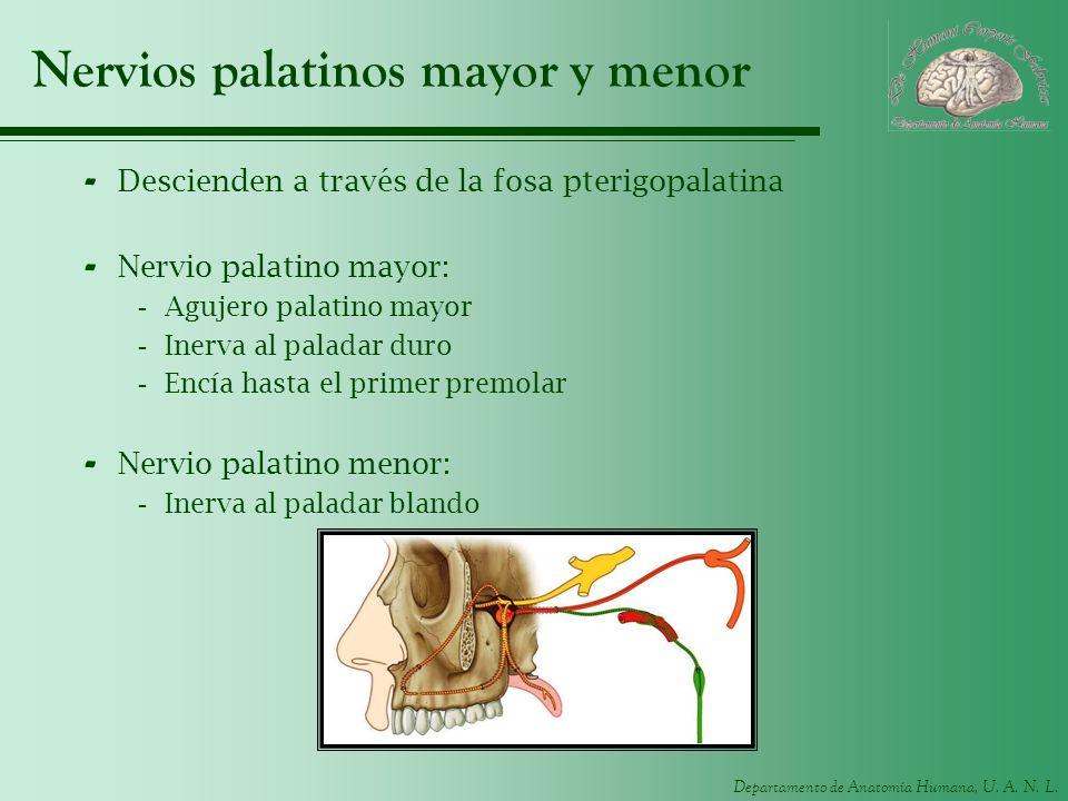 Departamento de Anatomía Humana, U. A. N. L. Nervios palatinos mayor y menor - Descienden a través de la fosa pterigopalatina - Nervio palatino mayor: