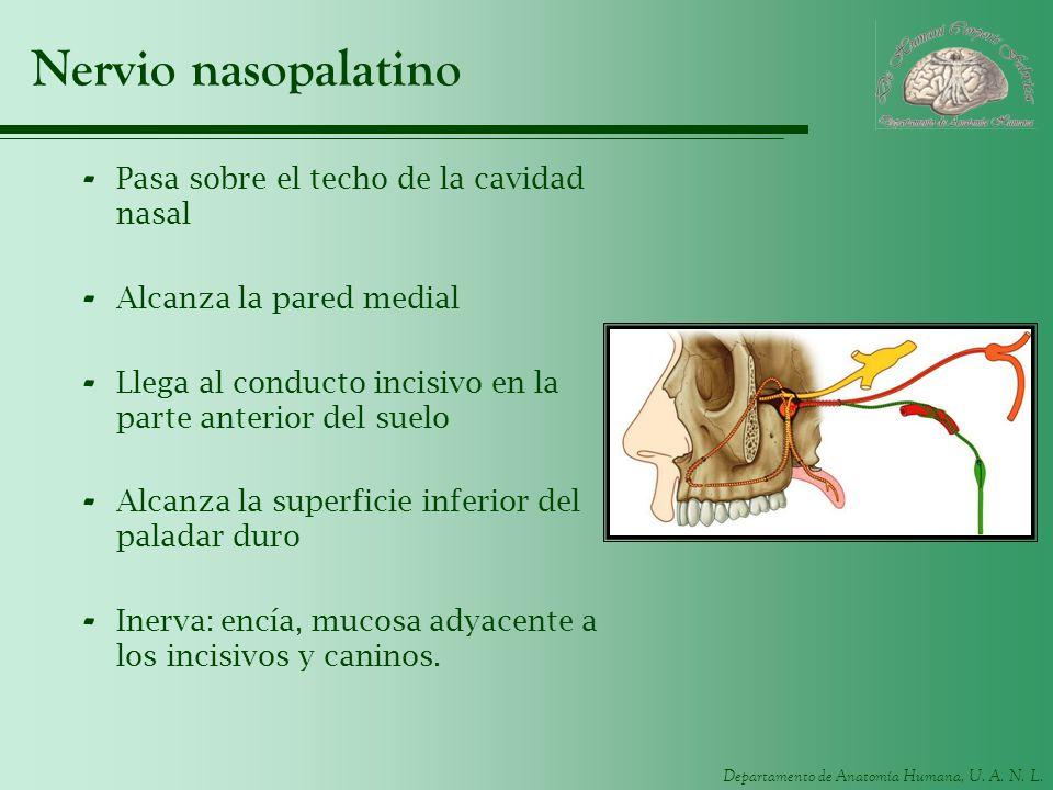 Departamento de Anatomía Humana, U. A. N. L. Nervio nasopalatino - Pasa sobre el techo de la cavidad nasal - Alcanza la pared medial - Llega al conduc