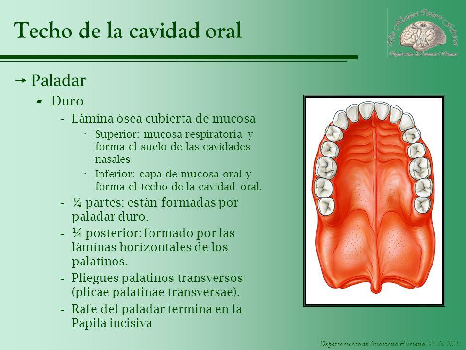 Departamento de Anatomía Humana, U. A. N. L. Techo de la cavidad oral Paladar - Duro -Lámina ósea cubierta de mucosa · Superior: mucosa respiratoria y