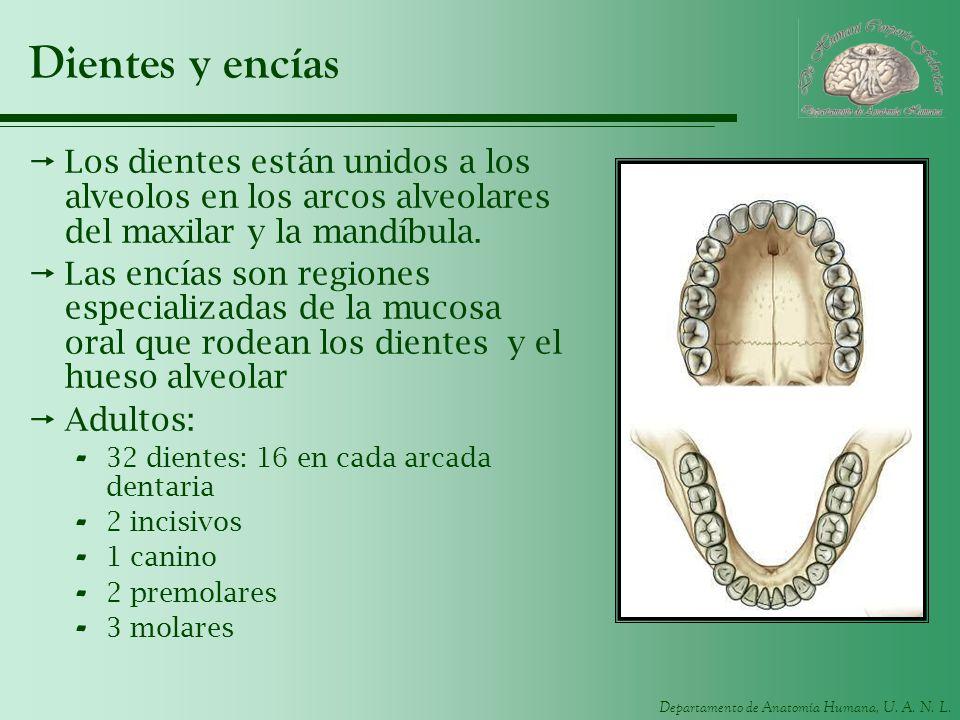 Departamento de Anatomía Humana, U. A. N. L. Dientes y encías Los dientes están unidos a los alveolos en los arcos alveolares del maxilar y la mandíbu