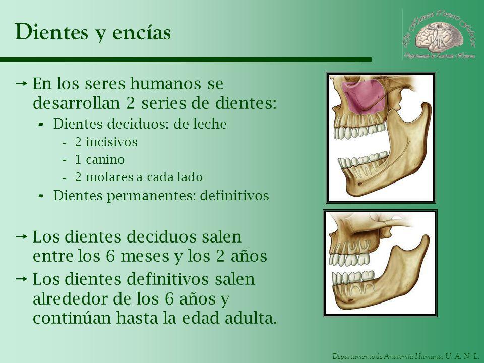Departamento de Anatomía Humana, U. A. N. L. Dientes y encías En los seres humanos se desarrollan 2 series de dientes: - Dientes deciduos: de leche -2