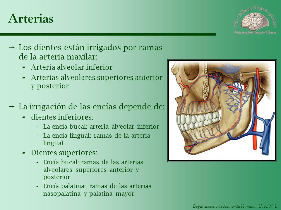 Departamento de Anatomía Humana, U. A. N. L. Arterias Los dientes están irrigados por ramas de la arteria maxilar: - Arteria alveolar inferior - Arter