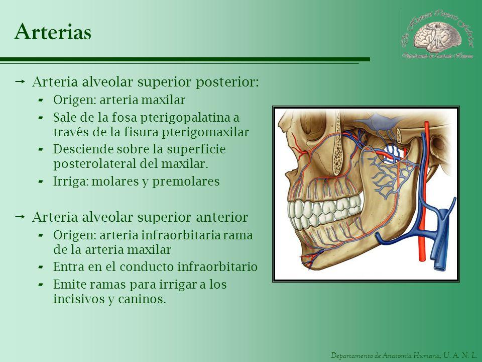 Departamento de Anatomía Humana, U. A. N. L. Arterias Arteria alveolar superior posterior: - Origen: arteria maxilar - Sale de la fosa pterigopalatina