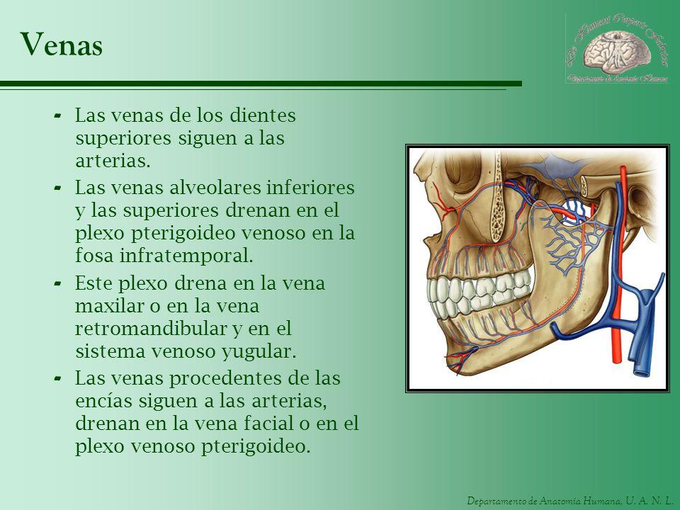 Departamento de Anatomía Humana, U. A. N. L. Venas - Las venas de los dientes superiores siguen a las arterias. - Las venas alveolares inferiores y la