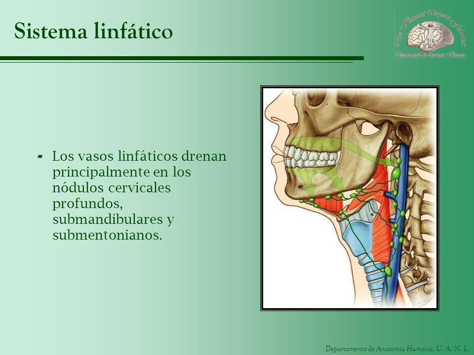 Departamento de Anatomía Humana, U. A. N. L. Sistema linfático - Los vasos linfáticos drenan principalmente en los nódulos cervicales profundos, subma