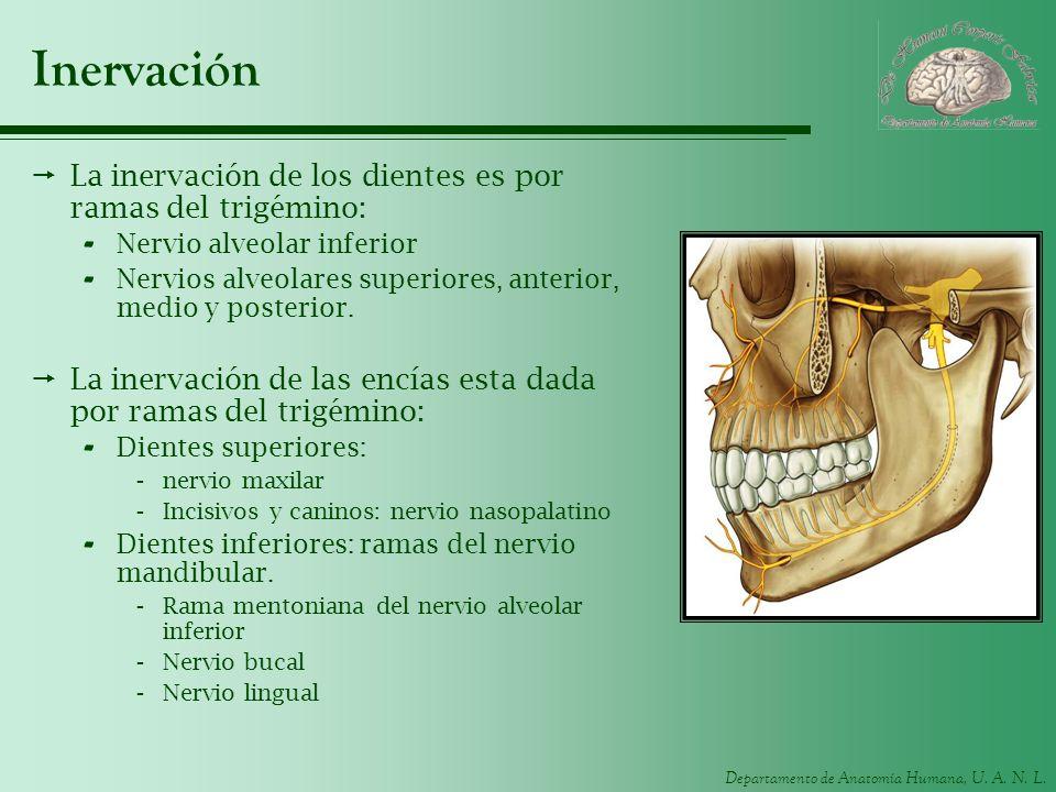 Departamento de Anatomía Humana, U. A. N. L. Inervación La inervación de los dientes es por ramas del trigémino: - Nervio alveolar inferior - Nervios