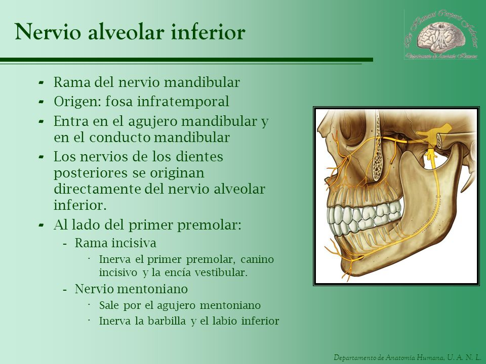 Departamento de Anatomía Humana, U. A. N. L. Nervio alveolar inferior - Rama del nervio mandibular - Origen: fosa infratemporal - Entra en el agujero
