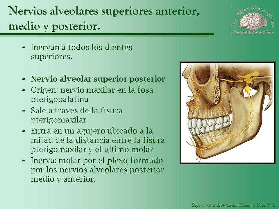 Departamento de Anatomía Humana, U. A. N. L. Nervios alveolares superiores anterior, medio y posterior. - Inervan a todos los dientes superiores. - Ne