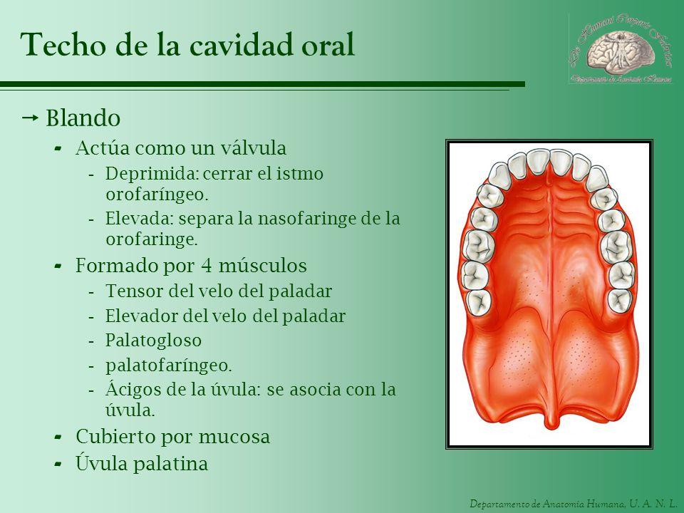 Departamento de Anatomía Humana, U. A. N. L. Techo de la cavidad oral Blando - Actúa como un válvula -Deprimida: cerrar el istmo orofaríngeo. -Elevada