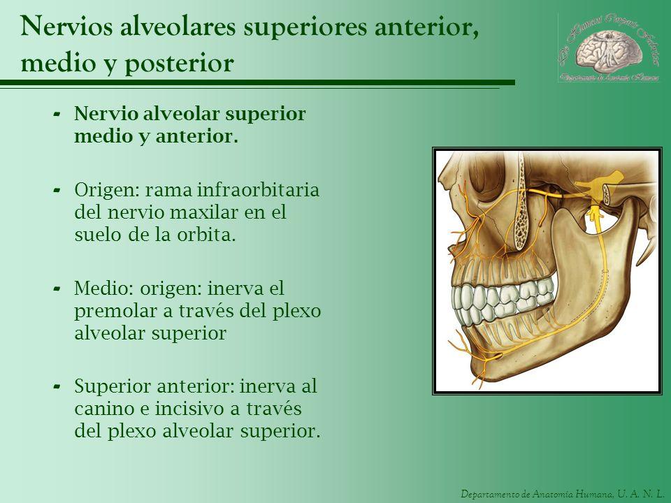 Departamento de Anatomía Humana, U. A. N. L. Nervios alveolares superiores anterior, medio y posterior - Nervio alveolar superior medio y anterior. -