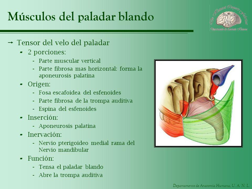 Departamento de Anatomía Humana, U. A. N. L. Músculos del paladar blando Tensor del velo del paladar - 2 porciones: -Parte muscular vertical -Parte fi