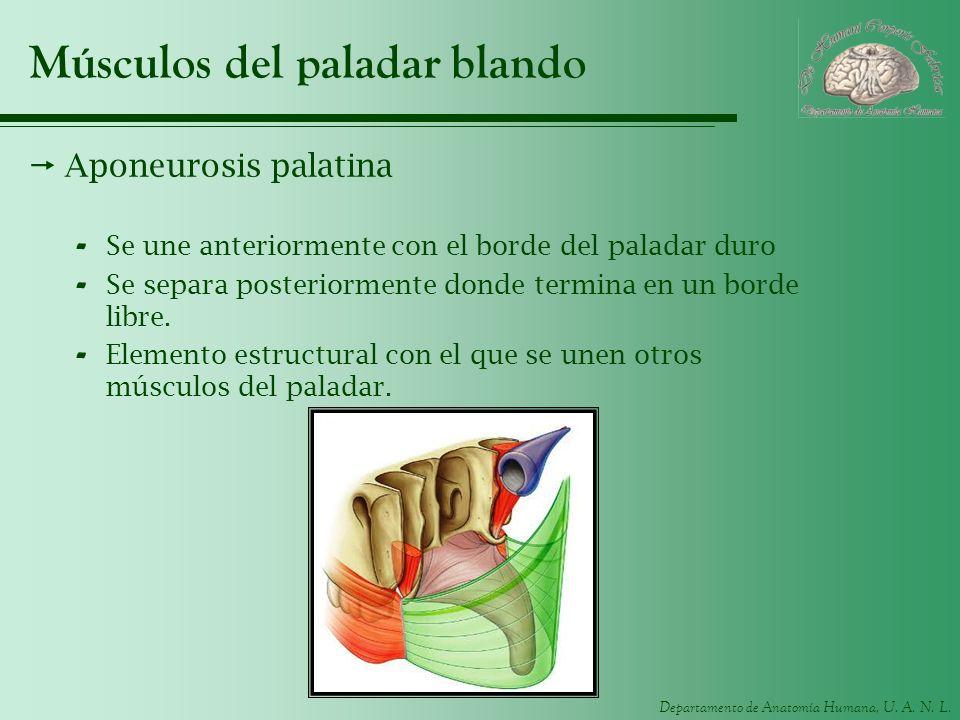 Departamento de Anatomía Humana, U. A. N. L. Músculos del paladar blando Aponeurosis palatina - Se une anteriormente con el borde del paladar duro - S