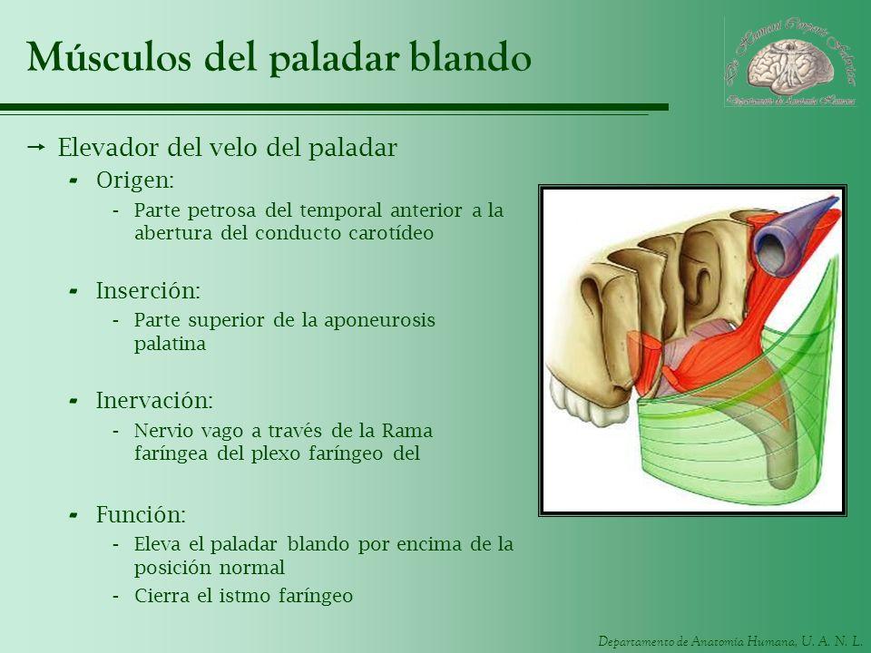Departamento de Anatomía Humana, U. A. N. L. Músculos del paladar blando Elevador del velo del paladar - Origen: -Parte petrosa del temporal anterior