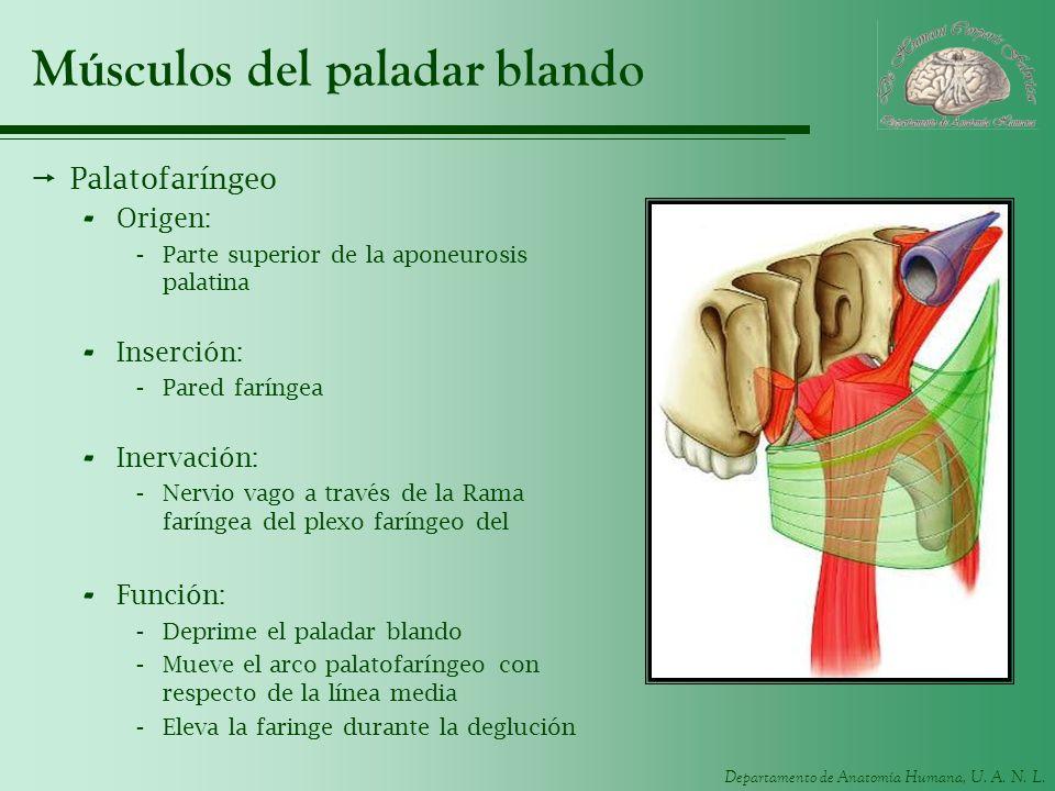 Departamento de Anatomía Humana, U. A. N. L. Músculos del paladar blando Palatofaríngeo - Origen: -Parte superior de la aponeurosis palatina - Inserci