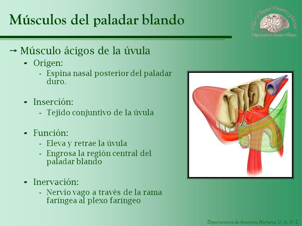 Departamento de Anatomía Humana, U. A. N. L. Músculos del paladar blando Músculo ácigos de la úvula - Origen: -Espina nasal posterior del paladar duro