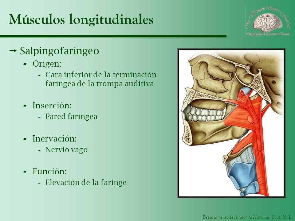 Departamento de Anatomía Humana, U. A. N. L. Músculos longitudinales Salpingofaríngeo - Origen: -Cara inferior de la terminación faríngea de la trompa