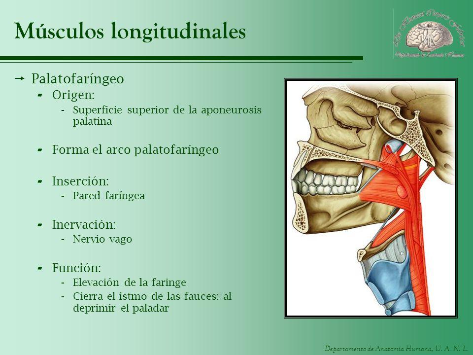Departamento de Anatomía Humana, U. A. N. L. Músculos longitudinales Palatofaríngeo - Origen: -Superficie superior de la aponeurosis palatina - Forma