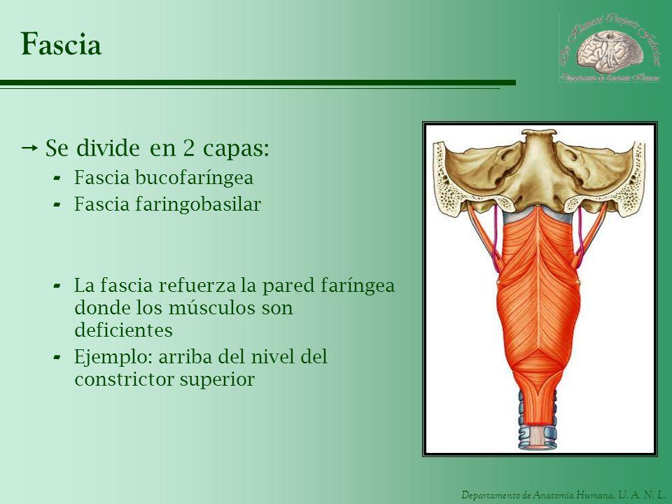 Departamento de Anatomía Humana, U. A. N. L. Fascia Se divide en 2 capas: - Fascia bucofaríngea - Fascia faringobasilar - La fascia refuerza la pared
