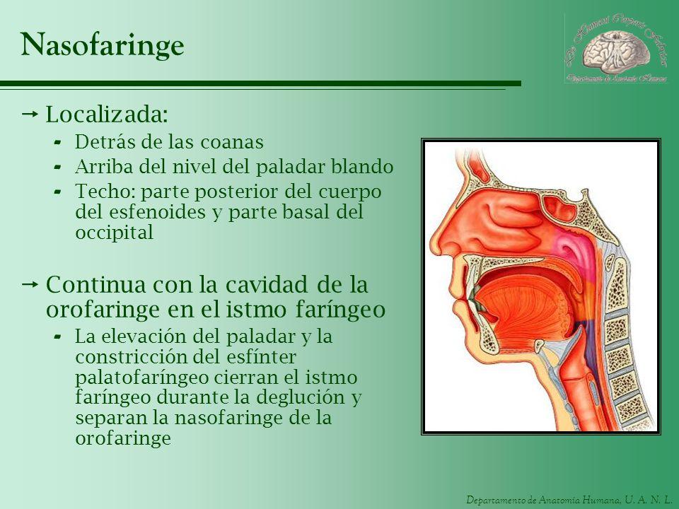 Departamento de Anatomía Humana, U. A. N. L. Nasofaringe Localizada: - Detrás de las coanas - Arriba del nivel del paladar blando - Techo: parte poste