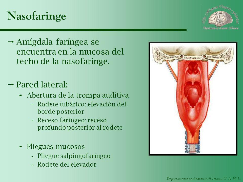 Departamento de Anatomía Humana, U. A. N. L. Nasofaringe Amígdala faríngea se encuentra en la mucosa del techo de la nasofaringe. Pared lateral: - Abe