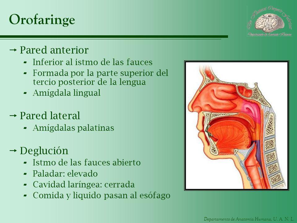 Departamento de Anatomía Humana, U. A. N. L. Orofaringe Pared anterior - Inferior al istmo de las fauces - Formada por la parte superior del tercio po