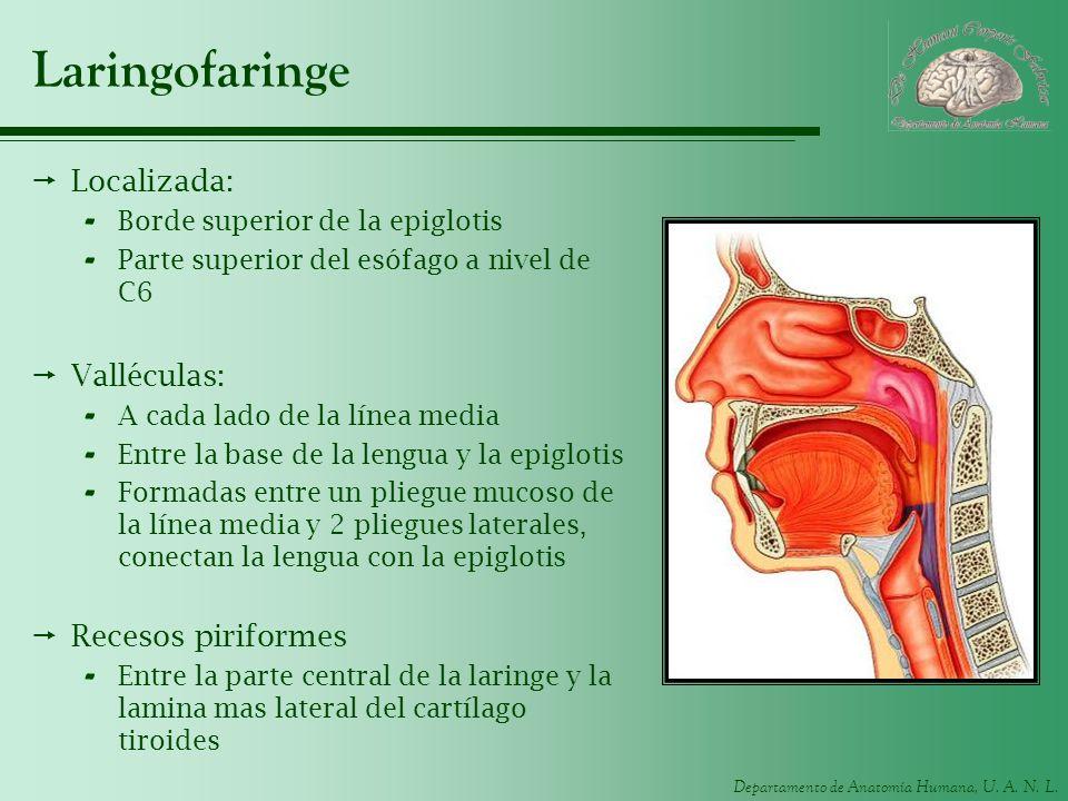 Departamento de Anatomía Humana, U. A. N. L. Laringofaringe Localizada: - Borde superior de la epiglotis - Parte superior del esófago a nivel de C6 Va