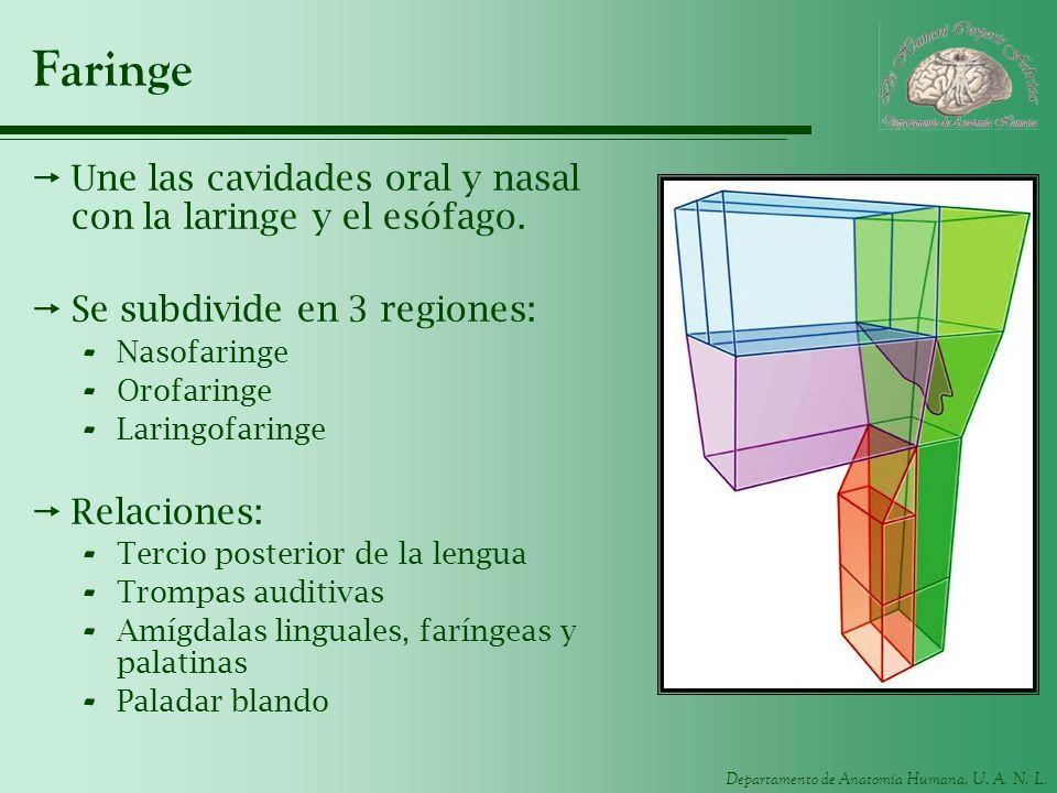 Departamento de Anatomía Humana, U. A. N. L. Faringe Une las cavidades oral y nasal con la laringe y el esófago. Se subdivide en 3 regiones: - Nasofar