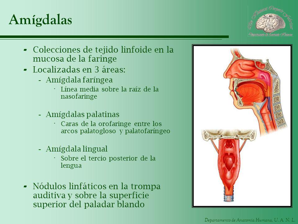 Departamento de Anatomía Humana, U. A. N. L. Amígdalas - Colecciones de tejido linfoide en la mucosa de la faringe - Localizadas en 3 áreas: -Amígdala