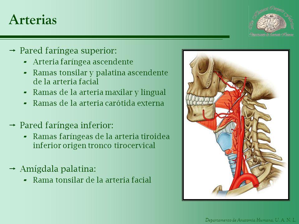 Departamento de Anatomía Humana, U. A. N. L. Arterias Pared faríngea superior: - Arteria faríngea ascendente - Ramas tonsilar y palatina ascendente de
