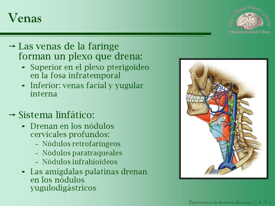 Departamento de Anatomía Humana, U. A. N. L. Venas Las venas de la faringe forman un plexo que drena: - Superior en el plexo pterigoideo en la fosa in