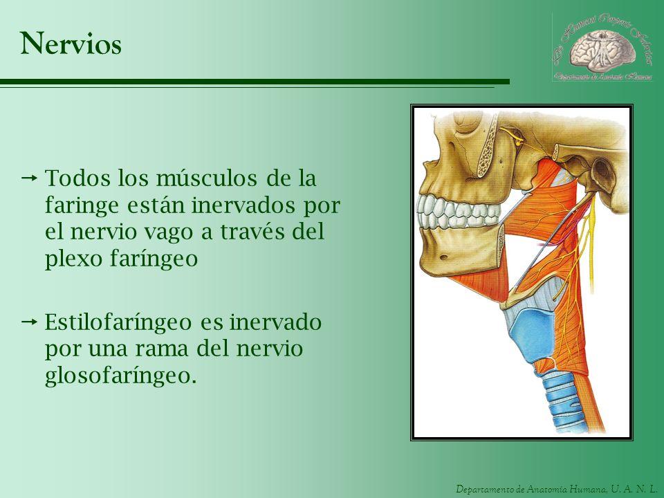 Departamento de Anatomía Humana, U. A. N. L. Nervios Todos los músculos de la faringe están inervados por el nervio vago a través del plexo faríngeo E