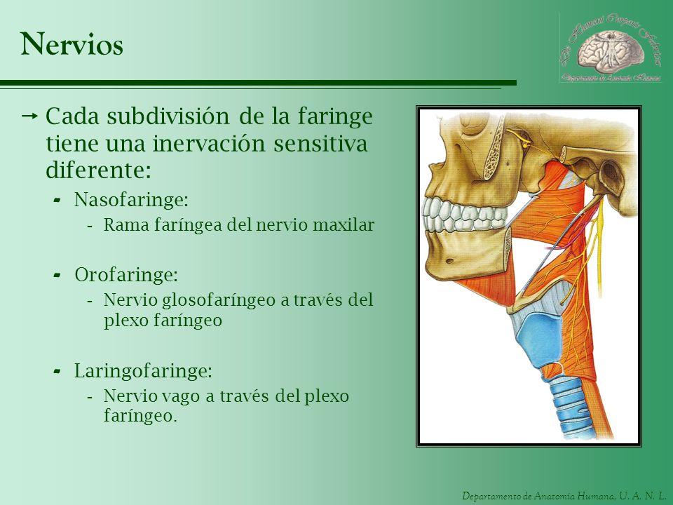 Departamento de Anatomía Humana, U. A. N. L. Nervios Cada subdivisión de la faringe tiene una inervación sensitiva diferente: - Nasofaringe: -Rama far